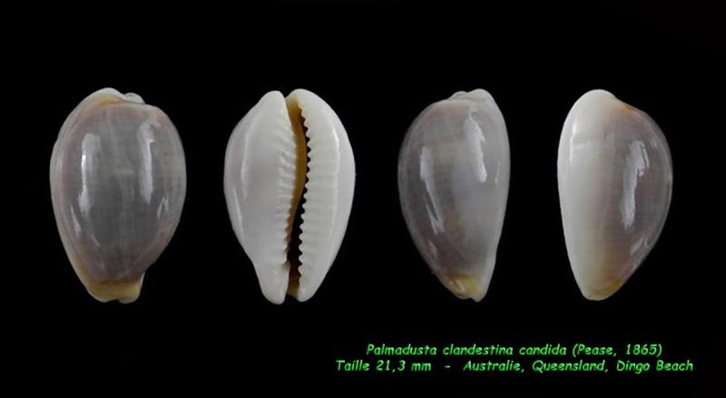 Palmadusta clandestina candida - (Pease, 1865) Clande12