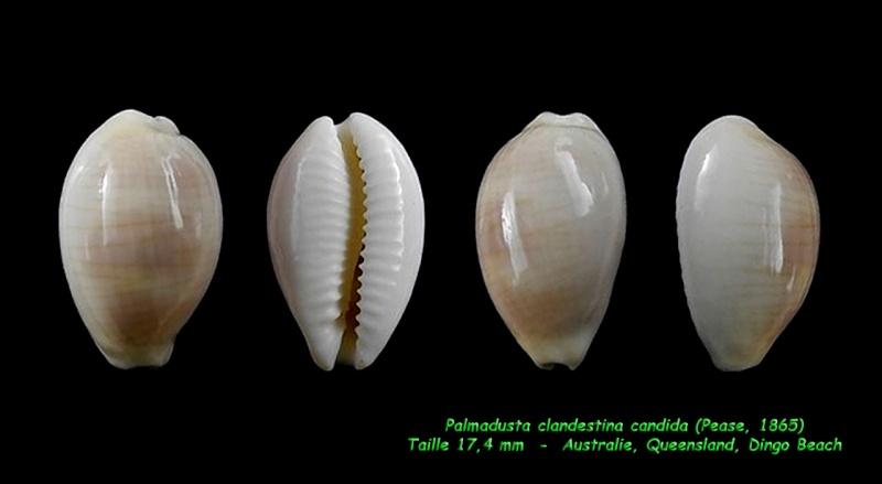 Palmadusta clandestina candida - (Pease, 1865) Clande13