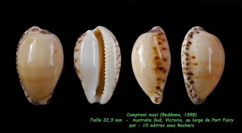 Notocypraea comptonii mayi - (Beddome, 1898) Compto12