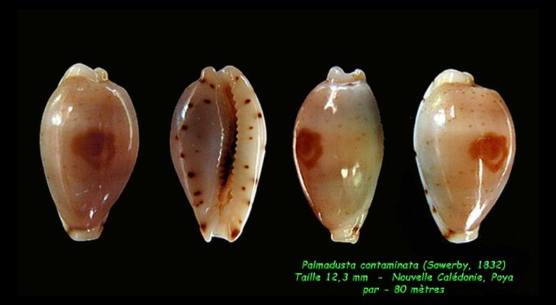 Palmadusta contaminata - (Gray, 1832) Contam10