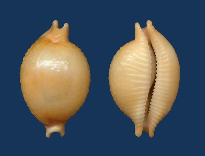 Pustularia chiapponii - Lorenz, 1999 Cyprae10