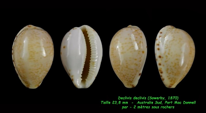 Notocypraea declivis - (G. B. Sowerby II, 1870)  Decliv12