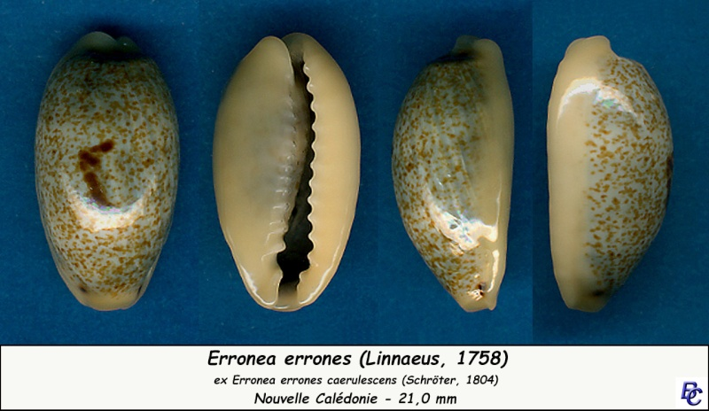 Erronea errones caerulescens - (Schröter, 1804) Errone14