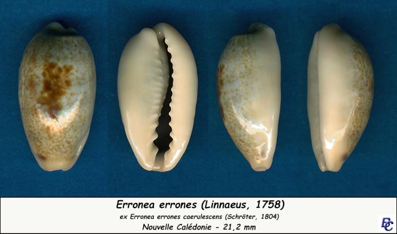 Erronea errones caerulescens - (Schröter, 1804) Errone15