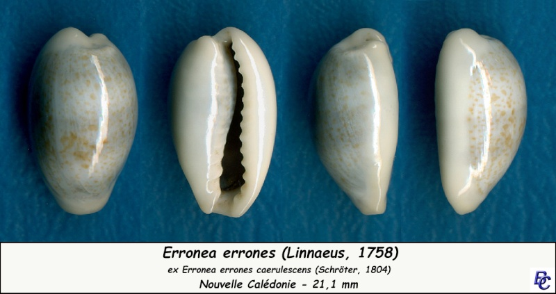 Erronea errones caerulescens - (Schröter, 1804) Errone16
