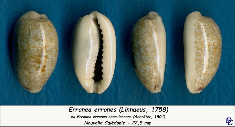 Erronea errones caerulescens - (Schröter, 1804) Errone17