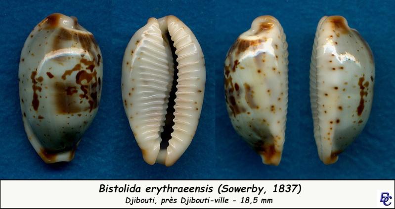 Bistolida erythraeensis - (G. B. Sowerby I, 1837) Erythr10