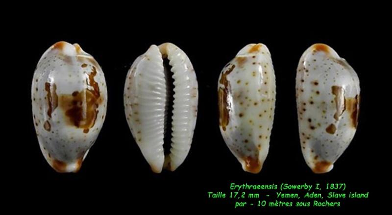 Bistolida erythraeensis - (G. B. Sowerby I, 1837) Erythr11