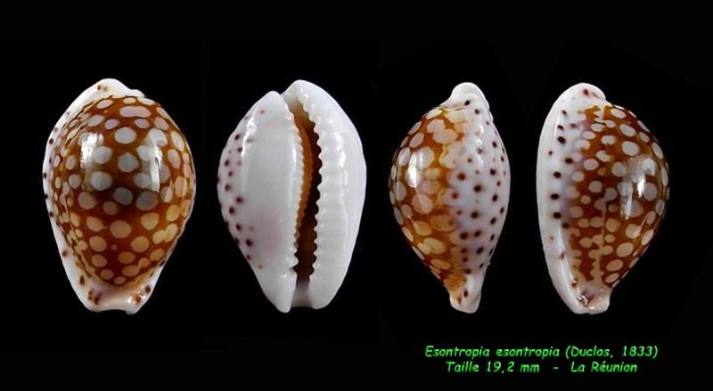 Cribrarula esontropia - (Duclos, 1833)  - Page 2 Esontr11