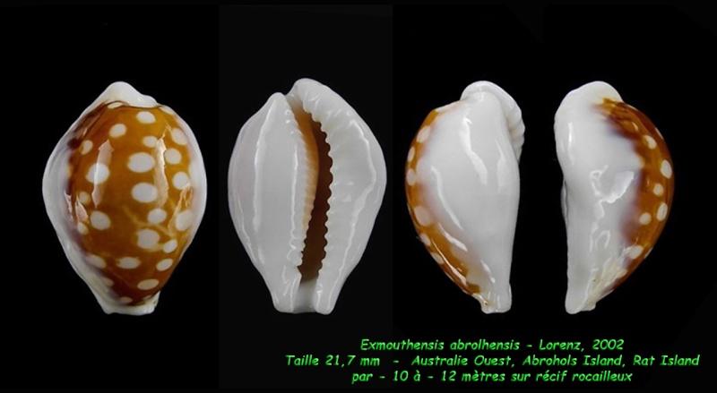 Cribrarula exmouthensis abrolhensis - Lorenz, 2002 Exmout20