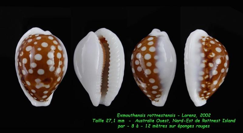 Cribrarula exmouthensis rottnestensis - Lorenz, 2002 Exmout26