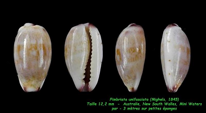 Purpuradusta fimbriata unifasciata - (Mighels, 1845) voir Purpuradusta fimbriata marmorata - (Schröter, 1804) Fimbri15