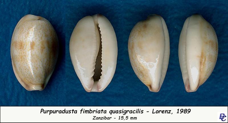 Purpuradusta fimbriata quasigracilis - Lorenz, 1989 Fimbri17