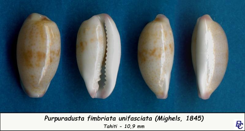 Purpuradusta fimbriata unifasciata - (Mighels, 1845) voir Purpuradusta fimbriata marmorata - (Schröter, 1804) Fimbri19