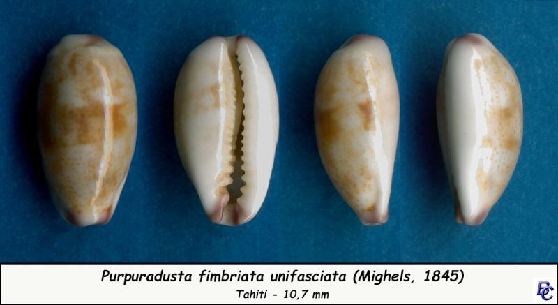 Purpuradusta fimbriata unifasciata - (Mighels, 1845) voir Purpuradusta fimbriata marmorata - (Schröter, 1804) Fimbri20