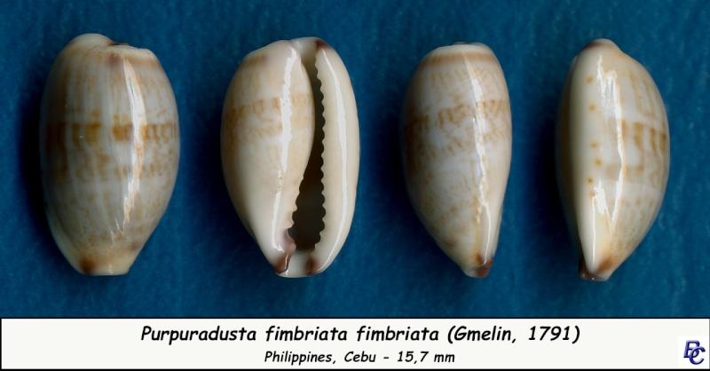 Purpuradusta fimbriata fimbriata - (Gmelin, 1791) - Page 2 Fimbri22