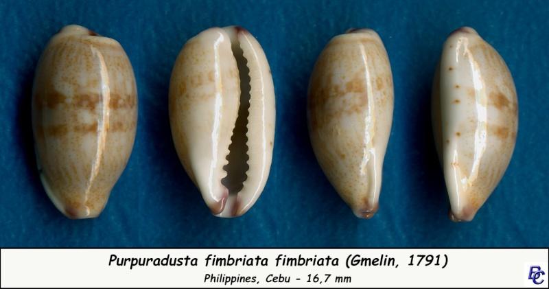 Purpuradusta fimbriata fimbriata - (Gmelin, 1791) - Page 2 Fimbri24
