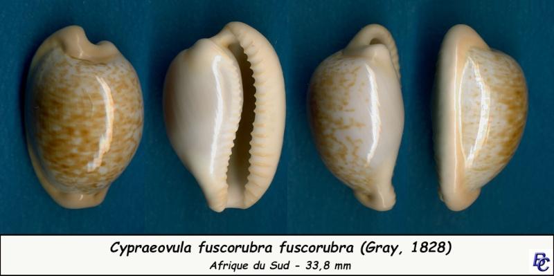 Cypraeovula fuscorubra fuscorubra - (Shaw, 1909) Fuscor10