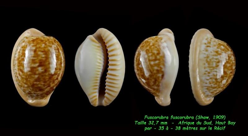 Cypraeovula fuscorubra fuscorubra - (Shaw, 1909) Fuscur10