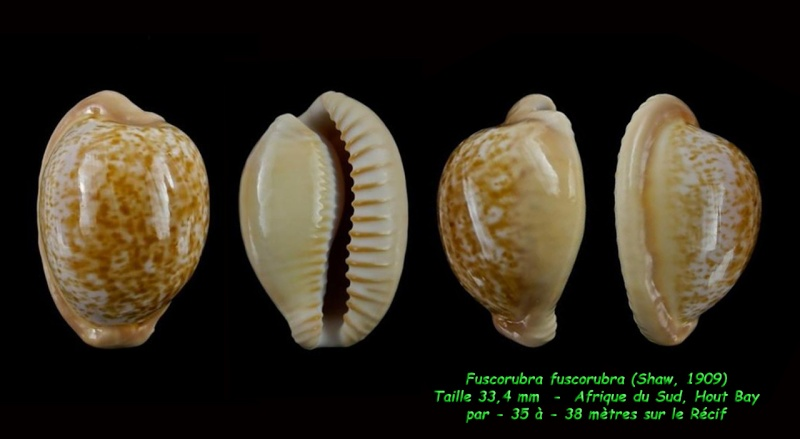 Cypraeovula fuscorubra fuscorubra - (Shaw, 1909) Fuscur11