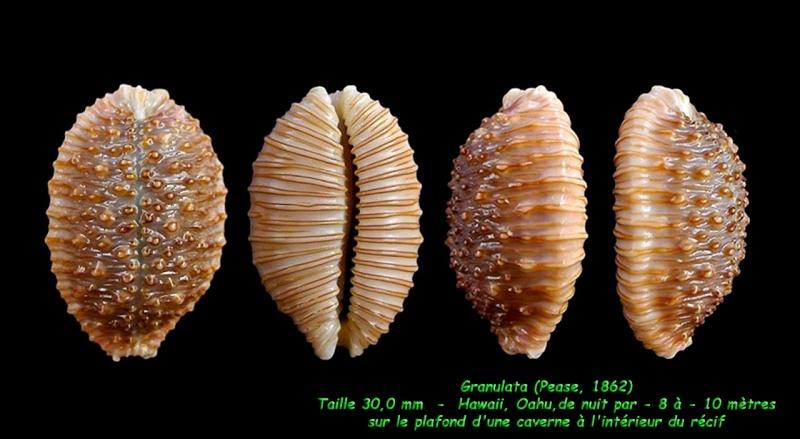 Nucleolaria granulata - (Pease, 1862) Granul10