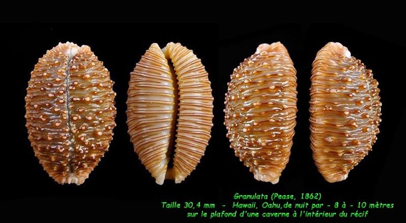 Nucleolaria granulata - (Pease, 1862) Granul11