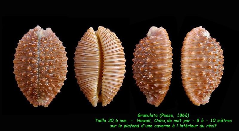 Nucleolaria granulata - (Pease, 1862) Granul12