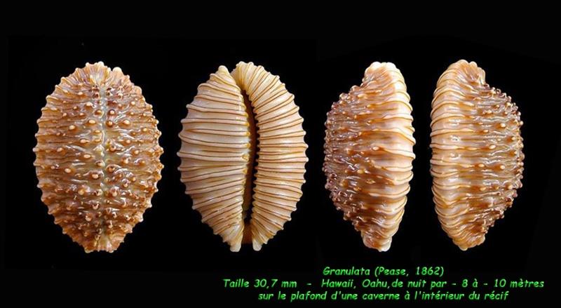 Nucleolaria granulata - (Pease, 1862) Granul13