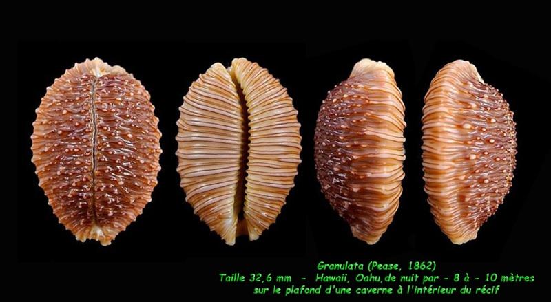 Nucleolaria granulata - (Pease, 1862) Granul14