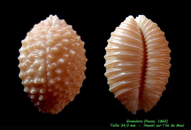 Nucleolaria granulata - (Pease, 1862) Granul15