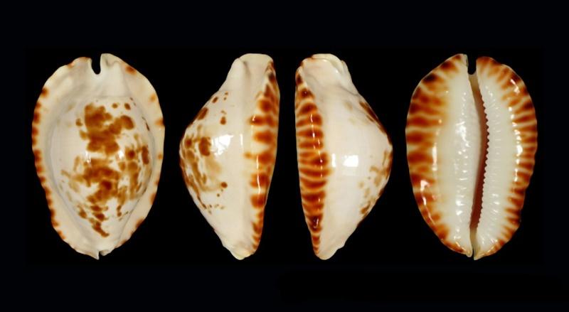 Zoila ketyana bataviensis - Lorenz & Morrison, 2001 Ketyan13