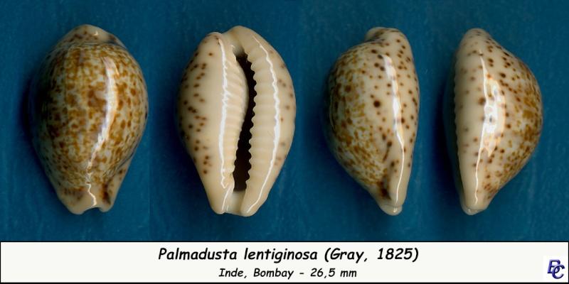 Palmadusta lentiginosa - (J.E. Gray, 1825) Lentig10
