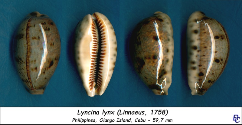 Lyncina lynx - (Linnaeus, 1758) - Page 3 Lynx_512