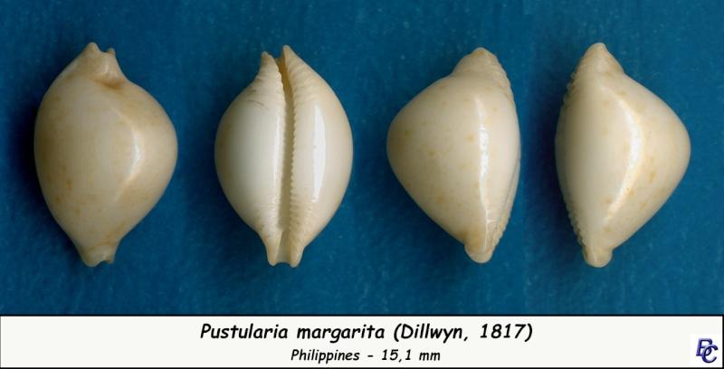 Pustularia margarita - (Dillwyn, 1817) Margar10