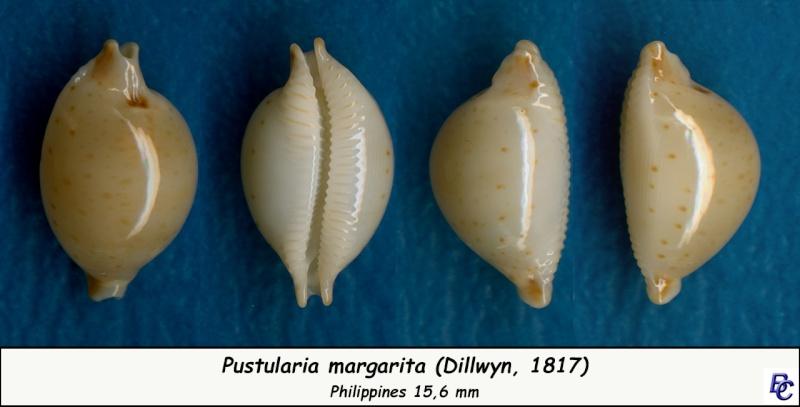 Pustularia margarita - (Dillwyn, 1817) Margar11