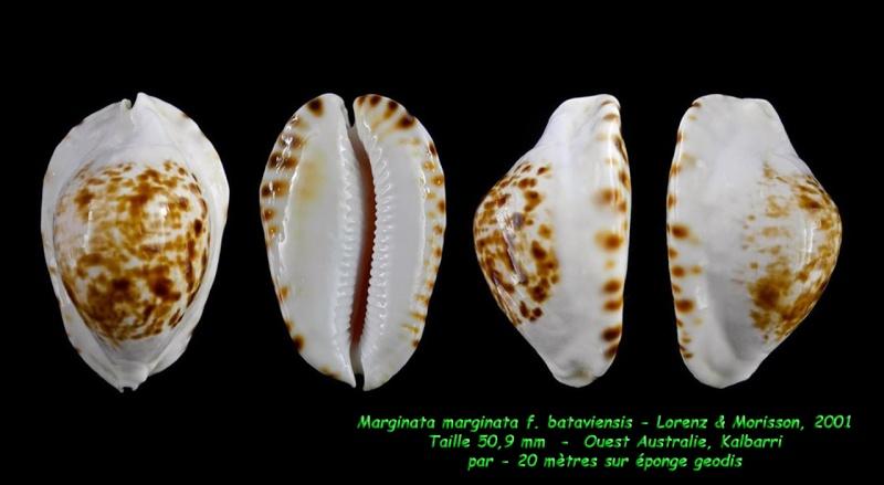 Zoila ketyana bataviensis - Lorenz & Morrison, 2001 - Page 2 Margin13