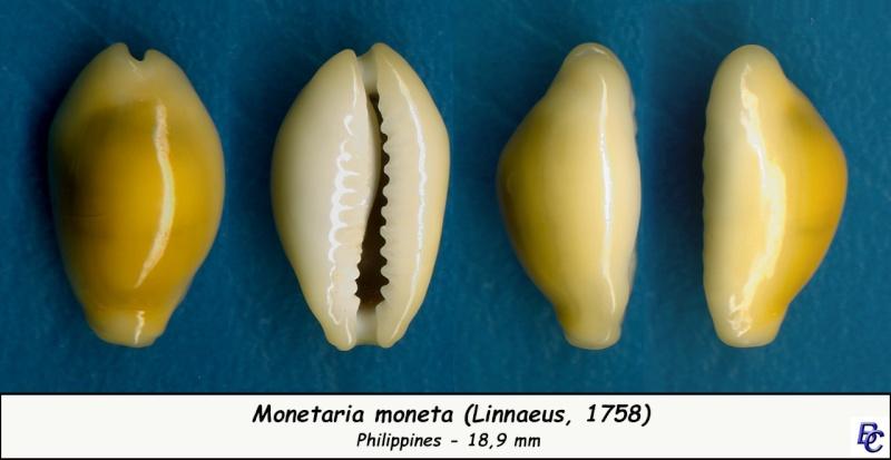 Monetaria moneta - (Linnaeus, 1758) - Page 4 Moneta12