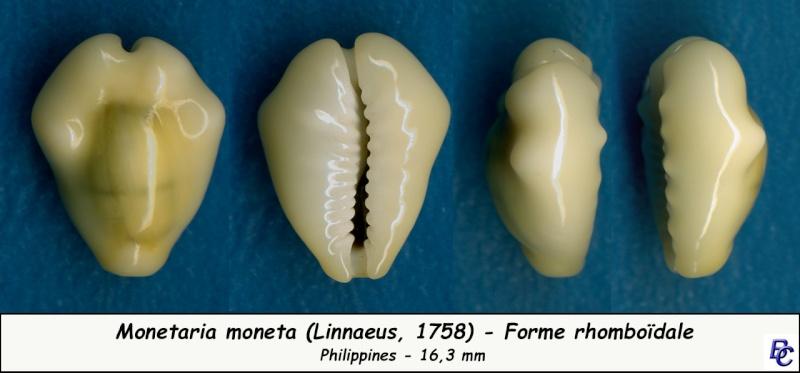 Monetaria moneta - (Linnaeus, 1758) - Page 4 Moneta16