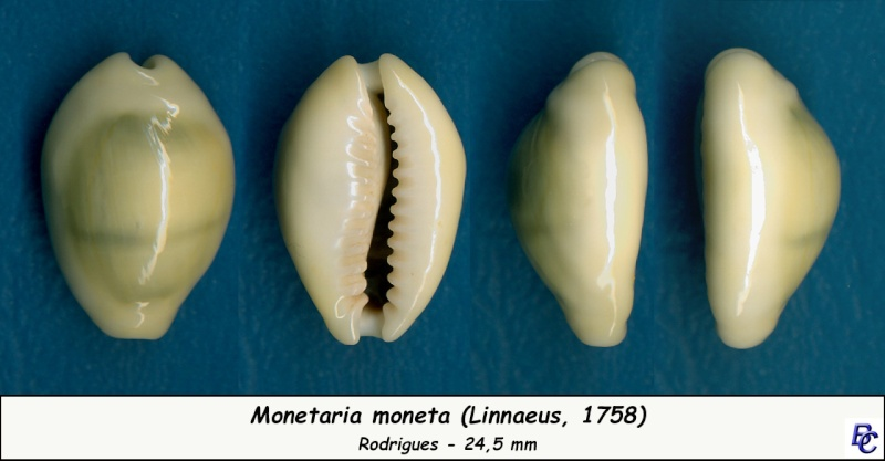 Monetaria moneta - (Linnaeus, 1758) - Page 4 Moneta20