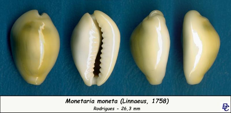 Monetaria moneta - (Linnaeus, 1758) - Page 4 Moneta21
