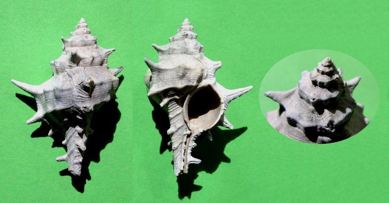Muricidae - † Murex (Promurex) spinicosta (Bronn in Michelotti, 1841) - Plaisancien Italie Muresp10