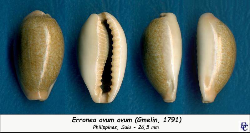 Erronea ovum ovum - (Gmelin, 1791) Ovum_o10