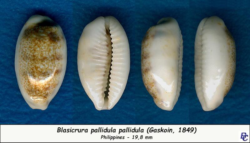 Blasicrura pallidula pallidula - (Gaskoin, 1849) Pallid10