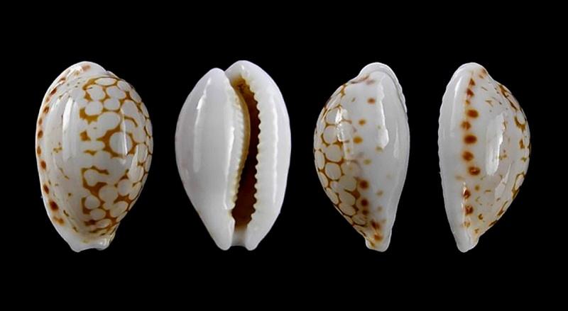 Cribrarula pellisserpentis - Lorenz, 1999 Pellis10