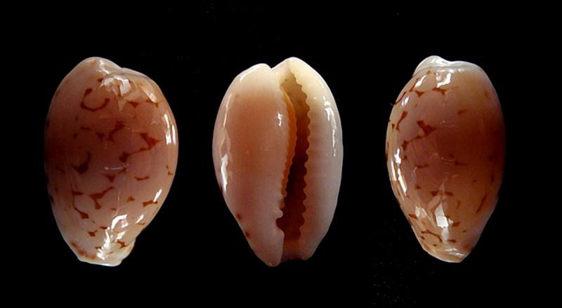 Cribrarula pellisserpentis - Lorenz, 1999 Pellis11