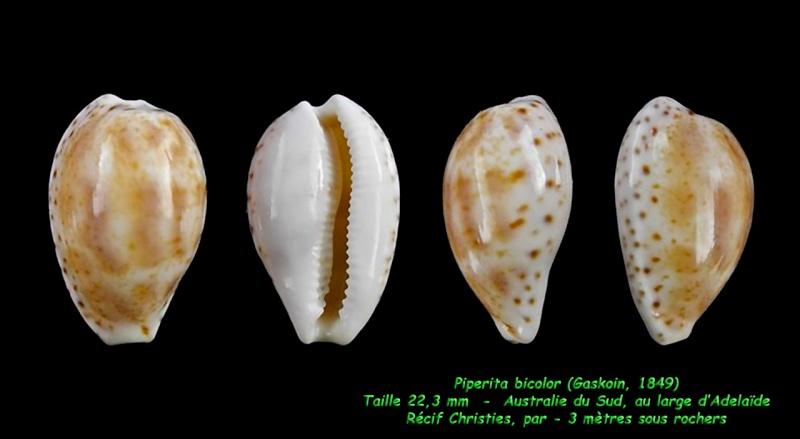 Notocypraea piperita bicolor - (Gaskoin, 1849) Piperi10
