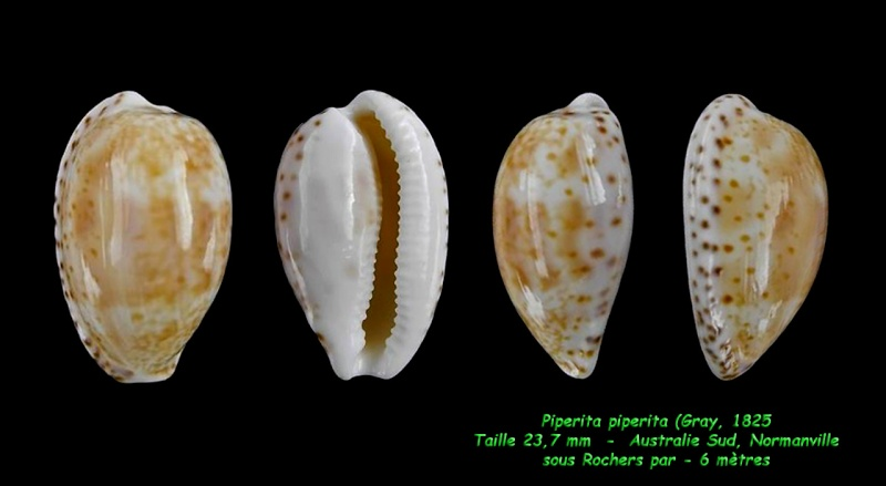 Notocypraea piperita - (Gray, 1825) Piperi11