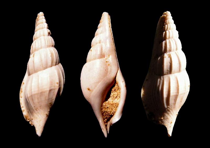 Strombidae - † Rimella fissurella, von Linné 1767 - Lutétien (Fleury la Rivière 51) Rimefi10