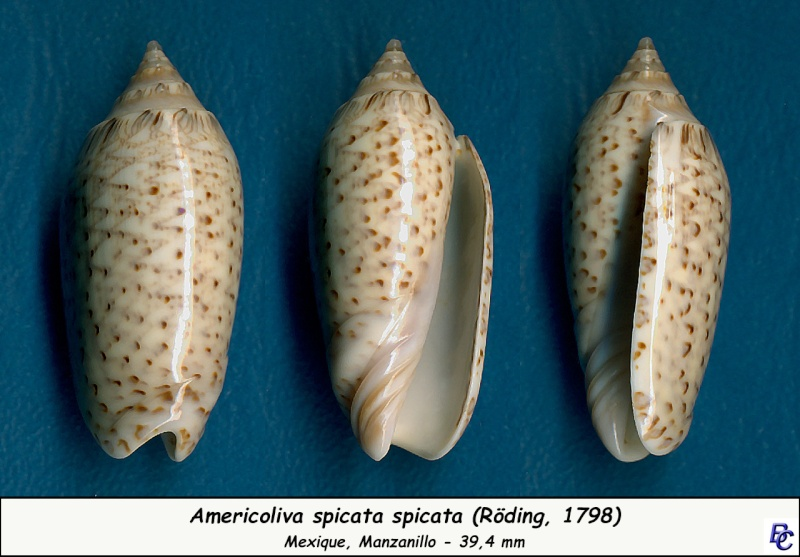 Americoliva spicata spicata (Röding, 1798) - Worms = Oliva spicata (Röding, 1798) Spicat11