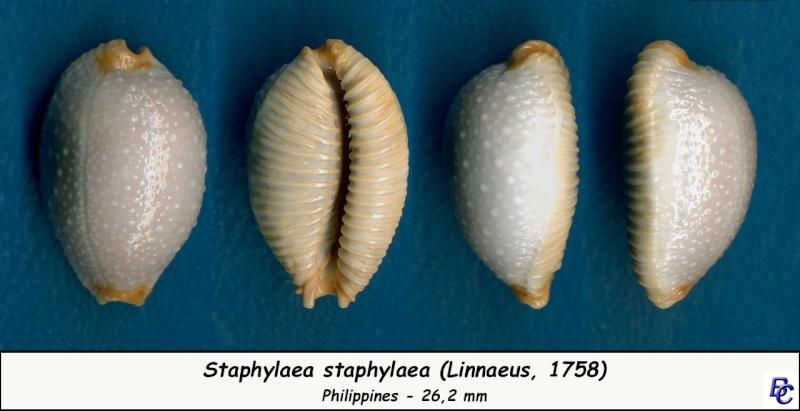 Staphylaea staphylaea staphylaea - (Linnaeus, 1758) Staphy11